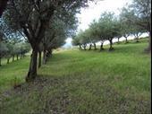 productive olive grove ragusa